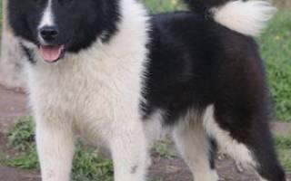 Восточно-сибирская лайка — фото, описание породы собак, характер