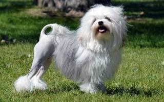 Левхен: стандарт малой львиной собаки, как содержать и ухаживать за породой, выбор щенков, цены, дрессировка, полезные фото и отзывы