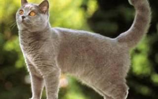 Шартрез: фото кошки, цена, описание породы, характер, видео, питомники