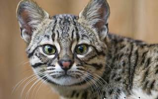 Кошка Жоффруа: описание породы и особенности ухода