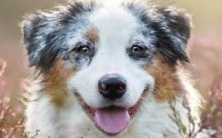 Австралийская овчарка (аусси) — фото собак, характеристика и описание породы