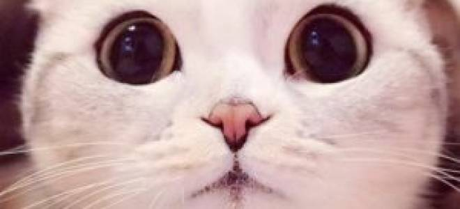 Кот с большими глазами: какие породы обладают такой особенностью, нюансы ухода и отзывы владельцев