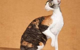 Кудрявый кот корниш рекс: особенности кучерявой породы кошек, уход за питомцем