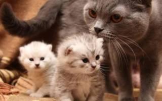 Сколько сосков у кошки, есть ли они у котов, особенности и функции