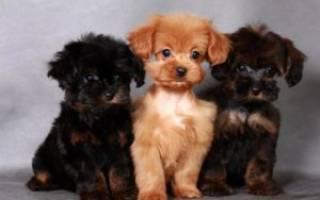 Петербургская орхидея: стандарт невской собаки, особенности внешности и характера, уход за породой, цены на щенков, полезные отзывы и фото