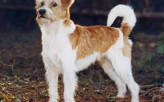 Кромфорлендер: описание породы, цена собаки, особенности воспитания и ухода, выбор щенков, фото и отзывы