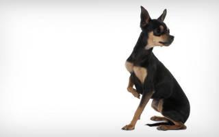Пражский крысарик — как выглядит порода, стандарт и характеристики чешского ратлика, характер, уход, цены, отзывы и фото
