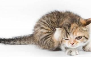 Саркоптоз у кошек: симптомы, пути заражения и лечение