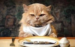 Чем кормить кошку при болезни печени: 6 лучших кормов гепатиков
