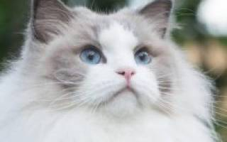 Рэгдолл: фото кошки, цена, описание породы, характер, видео, питомники