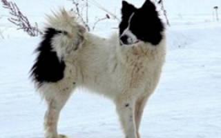 Ненецкая лайка (оленегонный шпиц) — фото, описание породы собак, особенности