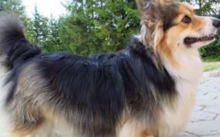 Корги флаффи — фото, особенности собак с геном длинной шерсти