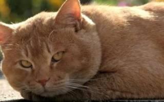 [Инструкция] Лучшее слабительное для кошек: когда давать, народные методы