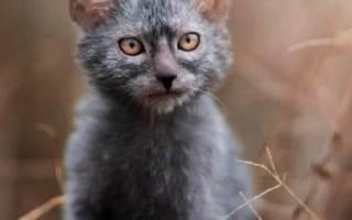 Кот породы ликой: описание внешности и характера кошки, уход за питомцем и его содержание, выбор котёнка, отзывы владельцев, фото