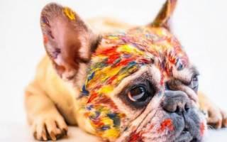 Французский бульдог — минусы и плюсы породы по отзывам владельцев, характеристика собаки