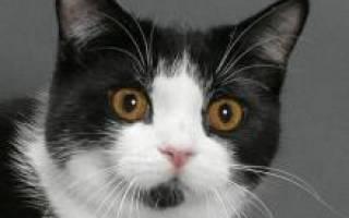 Мэнкс (Мэнская кошка): фото, цена, описание породы, характер, видео