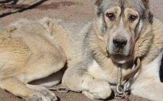 Афганская овчарка — фото, описание породы, характер, особенности содержания и ухода за собакой, цена