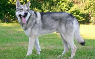 Волкособ — гибрид собаки и волка, фото разновидностей, описание пород