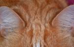 Как чистить уши коту [руководство к действию]