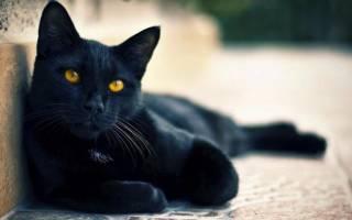Черные кошки [фото + список пород]: суеверия, уход и особенности