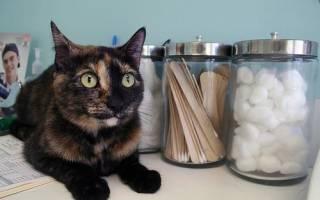 Микроспория у кошек — симптомы, лечение и профилактика