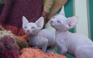 390 имен для сфинксов котов и кошек (по полу, окрасу, оригинальные)