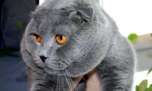 Чем кормить шотландскую кошку: 5 лучших кормов для вислоухой кошки