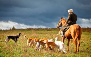 Тазы (казахская борзая) — фото и описание породы собак