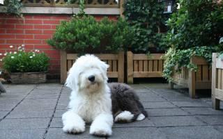 Собака бобтейл (староанглийская овчарка) — фото, описание породы, правила содержания