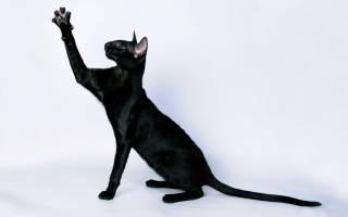 Ориентальная кошка: фото кошки, цена, описание породы, характер, видео, питомники