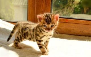 390 имен для бенгальских кошек и котов (по полу, окрасу, оригинально)