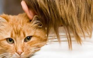 Возраст кошки по человеческим меркам: как определить, сравнительная таблица