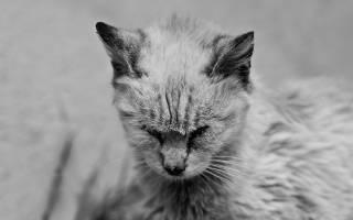 Чумка у кошек и котов (панлейкопения): симптомы, лечение котят и взрослых животных в домашних условиях