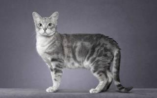 Серые кошки [фото + список пород]: суеверия, уход и особенности