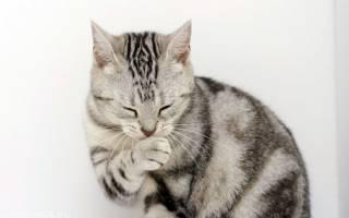 Поликистоз почек у кошек: причины заболевания, симптомы и лечение