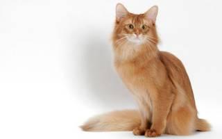Кошка сомали: описание внешности и характера, уход за питомцем и его содержание, выбор котёнка, отзывы владельцев, фото сомалийского кота
