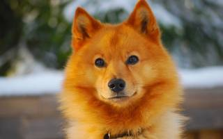 Карело-финская лайка (финский шпиц) — фото, описание породы собак, характеристика