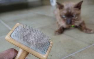 У кошки (кота) перхоть (на спине, около хвоста и в других местах): причины, как помочь котенку и взрослому животному