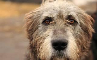 Ирландский волкодав — фото, характеристика породы, описание собаки, цена щенков