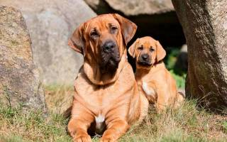 Брохольмер: стандарт породы, особенности ухода и содержания датской собаки, полезные советы и фото