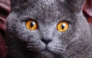 Британская кошка: характер, сколько стоит содержание [фото, видео, цена]