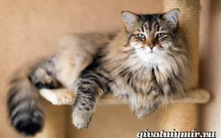Сибирская кошка: 30+ фото, описание породы, характер, видео, цена