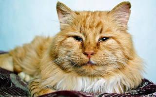 Кормление пожилой кошки (кота)