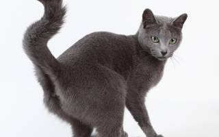 Воспаление параанальных желез у кошки и лечение заболевания