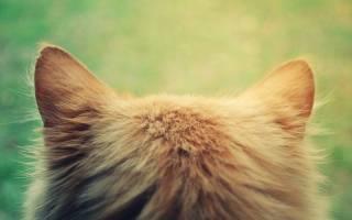Почему у кошки или кота горячие уши, чем это опасно, как помочь котенку и взрослому животному