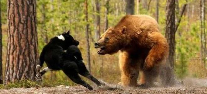 Карельская медвежья собака: стандарт породы, уход за лайкой, характер, цены, фото