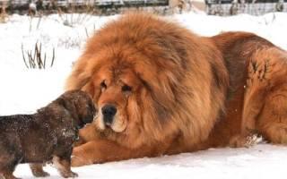 Молоссы — породы собак с фото и описанием