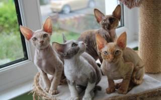 Гипоаллергенные породы кошек. 10 лучших пород для аллергиков