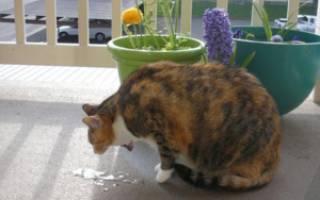 Кошку или кота рвёт: виды рвоты (сухим кормом, жёлтой жидкостью, белой пеной и другие), причины, лечение в домашних условиях