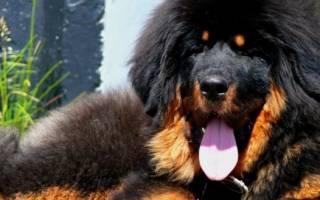 Тибетский мастиф — фото, характеристика породы собак, описание характера и особенности
